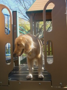 Honey the golden retriever plays at the playground.