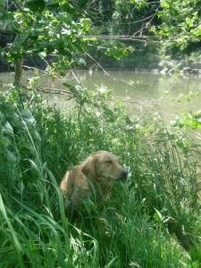 Honey the golden retriever hides in tall grass.