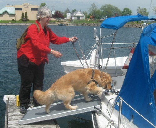 Honey the golden retriever goes aboard the sailboat on her ramp.