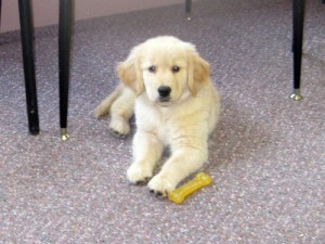 Honey the golden retriever puppy goes to work.