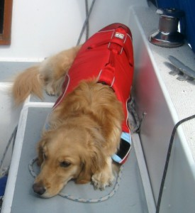 Honey the golden retriever naps on a sailboat.