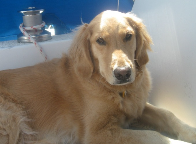 Honey the golden retriever sunning herself on a sailboat.