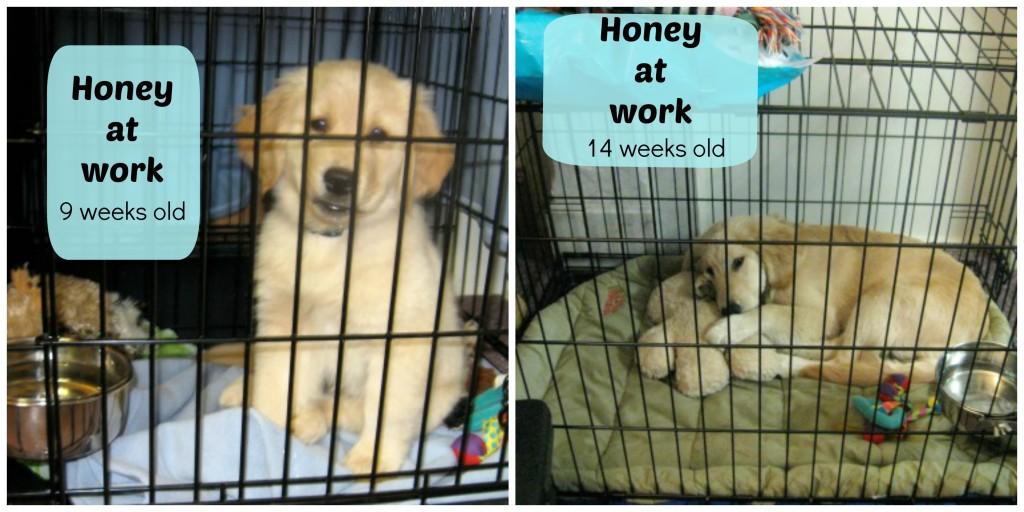 Golden retriever puppy in a crate.