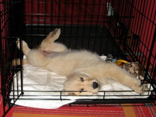 Honey the golden retriever puppy sleeps in her crate.