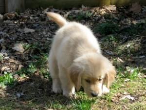 Honey the golden retriever as a cute puppy.