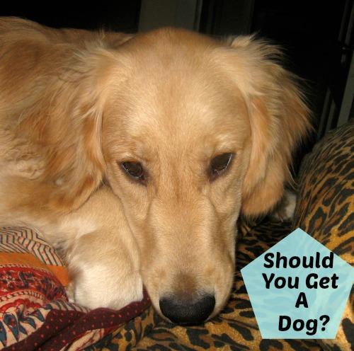 Honey the golden retriever asks: Should you get a dog?