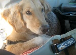 Honey the golden retriever is sleepy in the car.