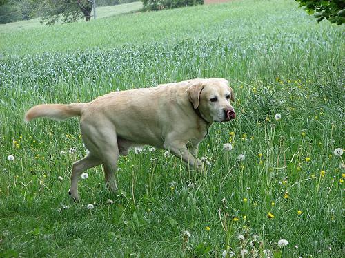 A big Labrador retriever on a walk.