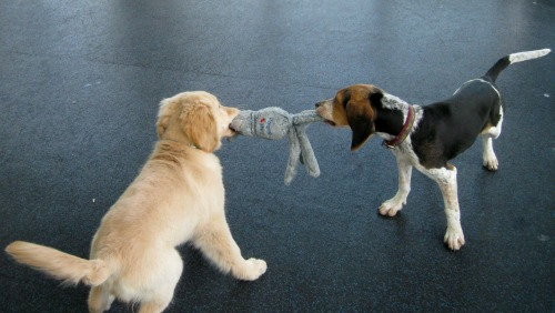 Honey the golden retriever plays tug with a hound puppy.