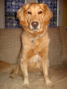 Honey the golden retriever just had a bath.