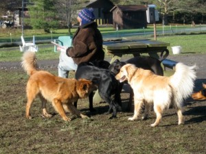 Honey the golden retriever at the dog park.