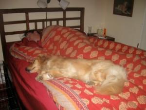 Honey the golden retriever sleeps on the bed.