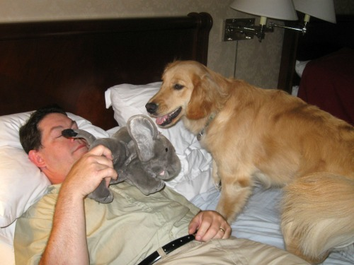 Honey the golden retriever plays with a stuffed elephant.