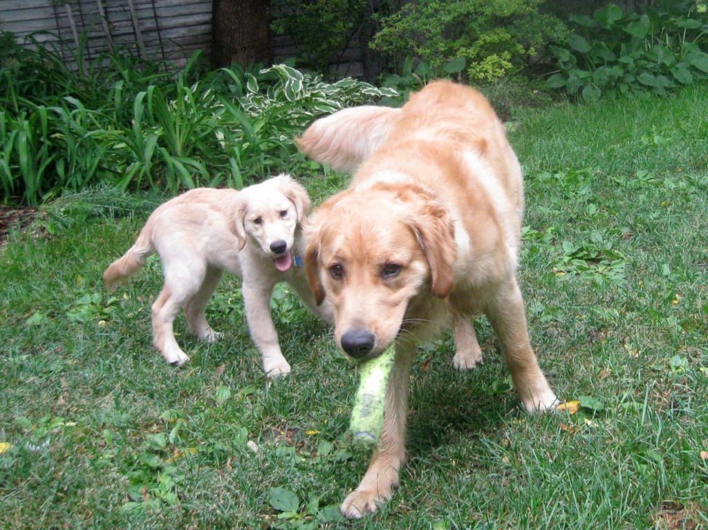 Honey the golden retriever puppy follows Riley.