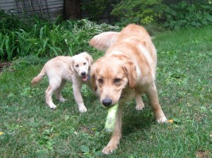Honey the golden retriever puppy follows Riley.