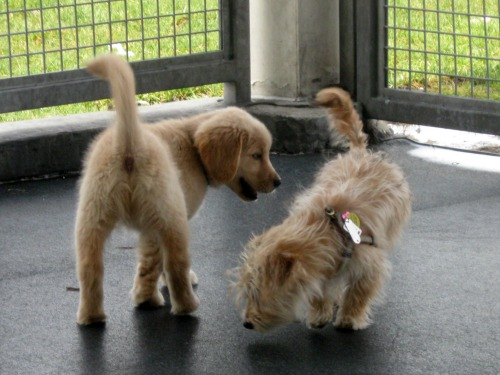 Honey the golden retriever puppy meets a new friend.