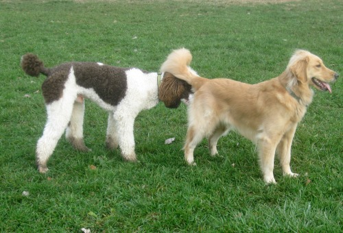 Honey the golden retriever is sniffed at the dog park.
