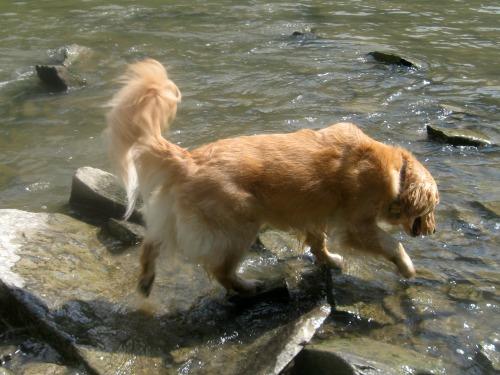 Honey the golden retriever enters the creek.