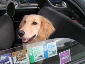 Honey the golden retriever loves the car.