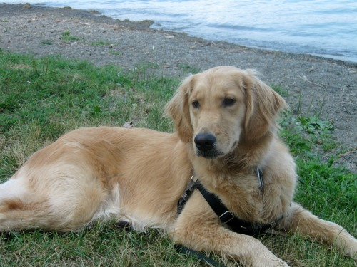 Honey the golden retriever sits by the lake.
