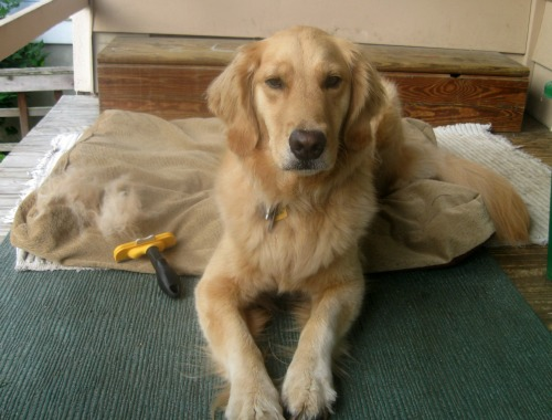 Honey the golden retriever rests on the porch.