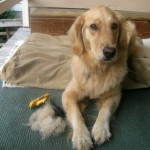Honey the Golden Retriever sheds.