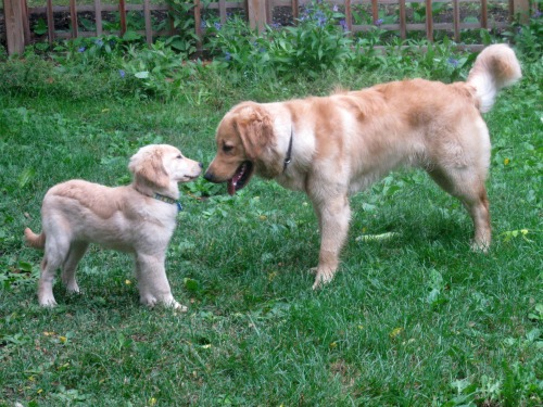 Honey the golden retriever puppy meets another golden.