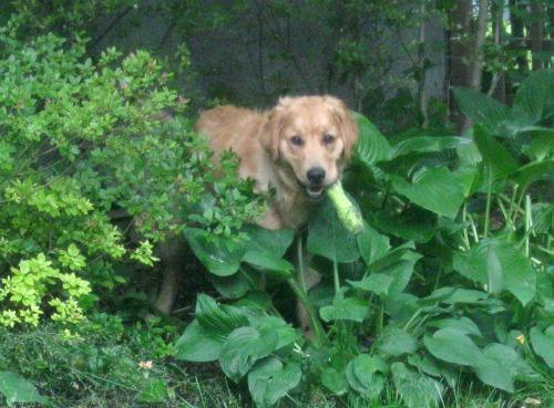 Riley the golden retriever.
