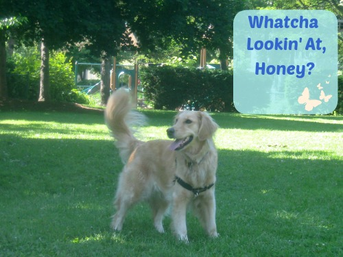 Honey the golden retriever is smiling in the park.