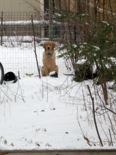 Riley the golden retriever sits in his yard.