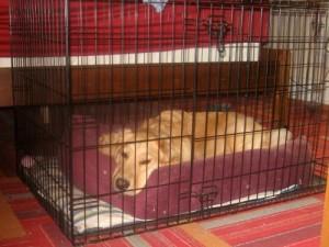 Honey the golden retriever lies in her crate.