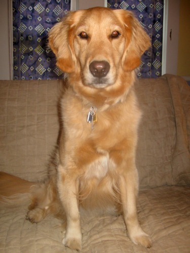 Honey the golden retriever looks pretty after her bath.