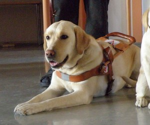 Guide dog in harness.