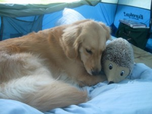 Golden retriever loves her squeaky toy.