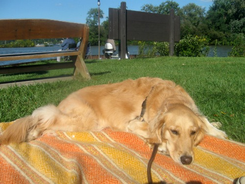 Honey the golden retriever dozes.