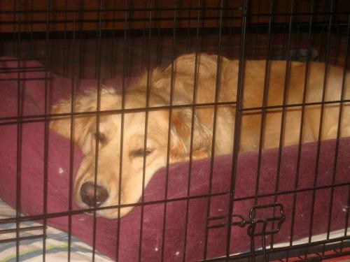 Honey the golden retriever naps in her crate.