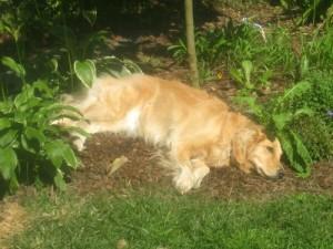 Honey the golden retriever naps.