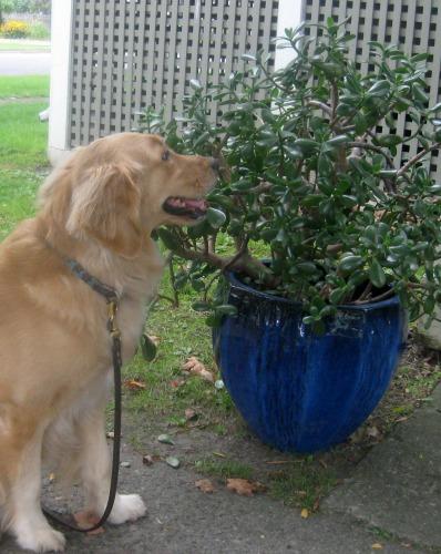Honey the golden retriever sniffs a jade plant.