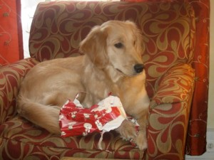 Honey the golden retriever chews on wrapping paper.
