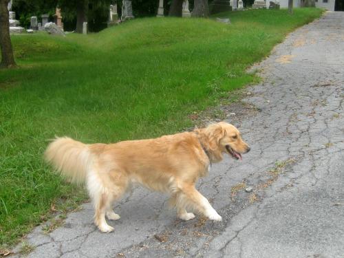 Honey the golden retriever goes for a walk.