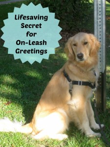 Honey the golden retriever shares a secret for on-leash greetings.