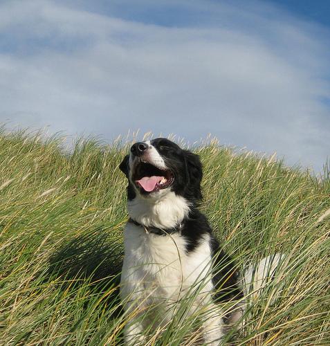 Happy dog in a field.