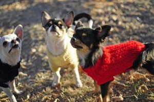 Chihuahuas wear their sweaters.