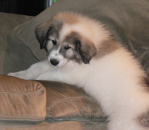 Great pyrenees puppy on a couch.