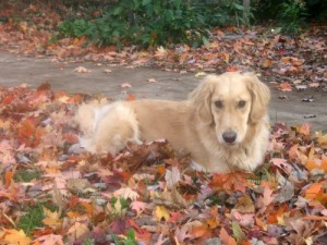 Honey the golden retriever laying in fall leaves.