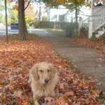 Honey the golden retriever lies in the fallen leaves.