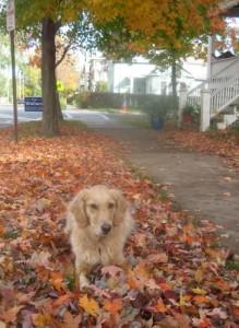 Honey the golden retriever lies in the fallen leaves.