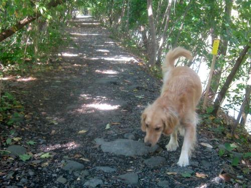 Honey the golden retriever chooses her route.