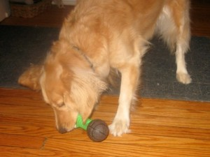 Honey the golden retriever picks up a squeaky toy.