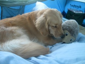 Honey the golden retriever nuzzles a stuffed toy.